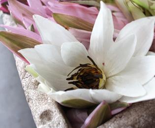 ロータスの花の画像